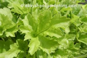 Heuchera Ground Cover Shade Plant