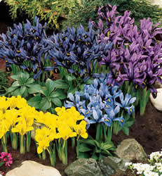 Iris Dwarf Rock Garden