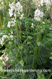 Jacobs Ladder Plant with White Flowers in Shade