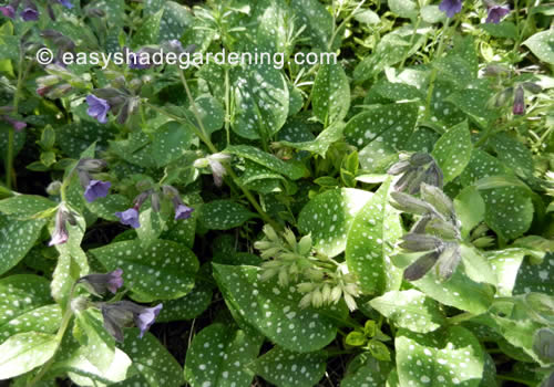 Lungwort Leaves and Flowers in Shade - Pulmonaria