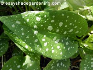 Shade Plant Lungwort - Pulmonaria