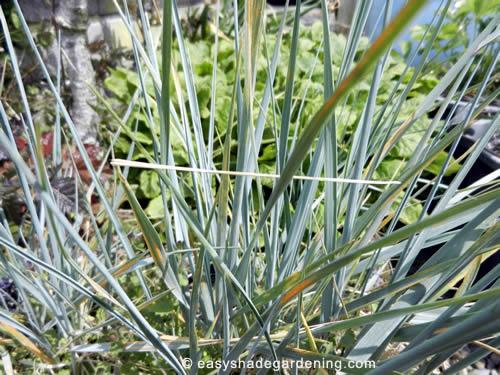 Ornamental Grass - Elymus magelianicus