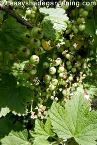 Juvenile Red Currants Growing in Shade