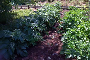 Organic Vegetables Plants
