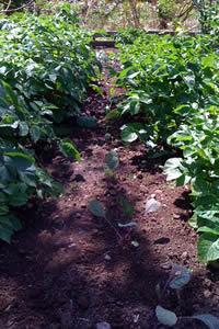 Rows of Organic Potatoes Growing in the Shade