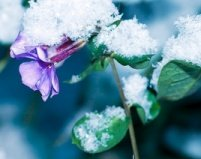 Winter perennial, snow and frost